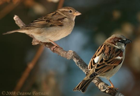 OWL_sparrow